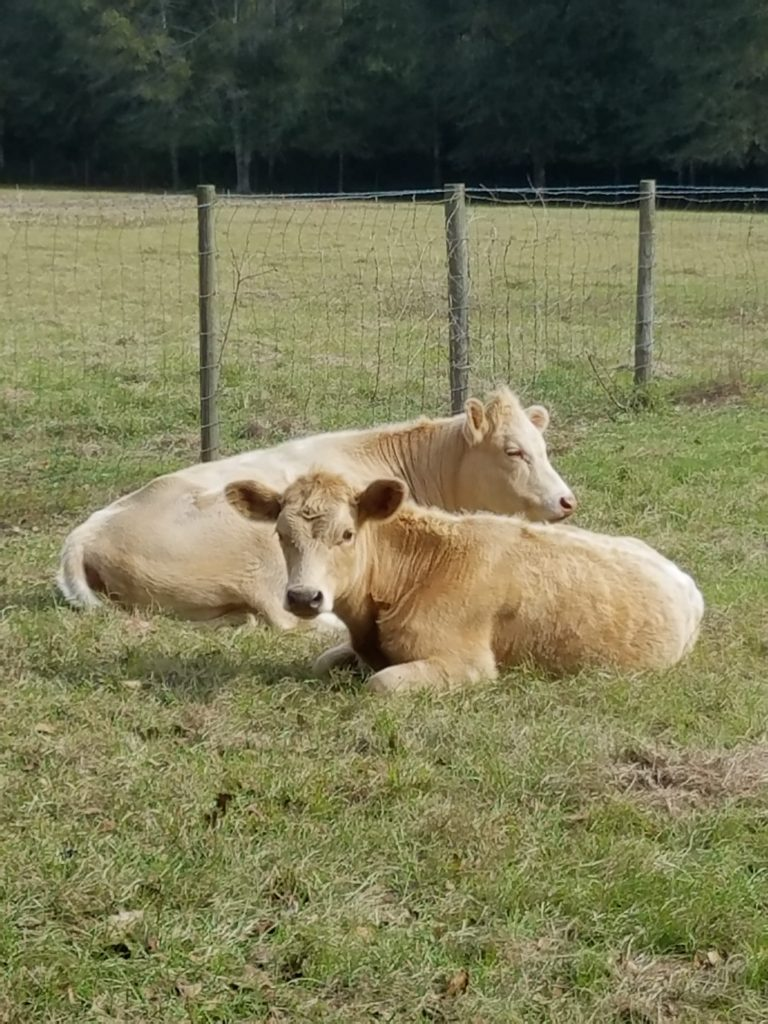 Missing Cow Story | Princess Buttercup